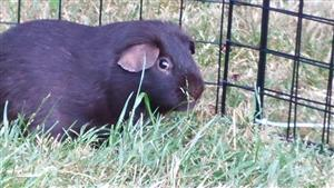 This is Wally, the Guinea Pig